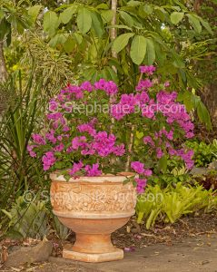 Bougainvillea bambino cultivar 'Bokay' iwith red / pink flowersn large terracotta pot / container