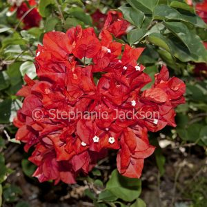 Cluster of bright red bracts and flowers of bambino / dwarf Bougainvillea 'Jazzi'