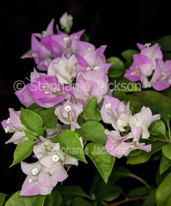 Cluster of pink and white flower bracts of bambino / dwarf Bougainvillea 'Majik' on dark background.'