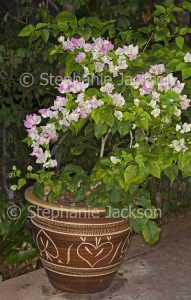 Bougainvillea bambino cultivar 'Majik' in large pot / container