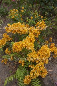 Clusters of orange flower bracts of bambino / dwarf Bougainvillea 'Siggi.'