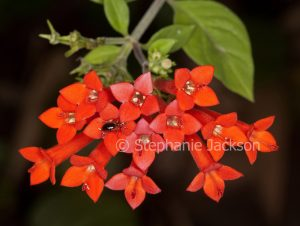 Red flowers of Bouvardia ternifolia 'Siam Sunset', Firecracker Plant with an insect, a beneficial assassin bug, on the petals.