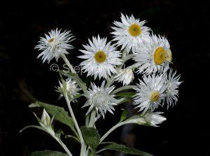 White flowers of everlasting daisy, Bracteantha papillosum syn Helichrysum papillosum / Xenochrysum bracteatum in Gibraltar Ranges National Park in NSW Australia.