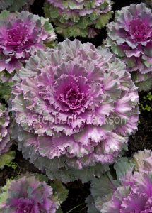 Ornamental kale plants, Brassica oleracea, with pink, mauve and green foliage