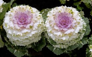 Ornamental kale plants, Brassica oleracea, with pink, white and green foliage