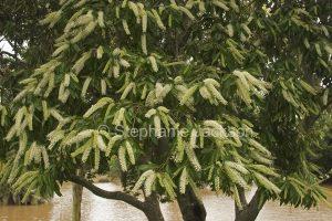Flowers of Australian native tree, Buckinghamia celsissima, Ivory Curl Flower