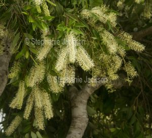 Flowers of Australian native plant , tree, Buckinghamia celsissima, Ivory Curl Flower