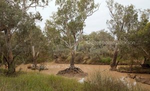 Bulloo River with eucalyptus trees near Quilpie in outback Queensland, Australia.