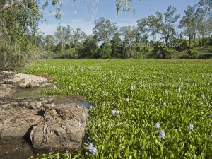 Water hyacinth, Eichhornia crassipes, is a South American plant that has become an invasive species in many aquatic environments in Australia, including the Burnett River in Queensland.
