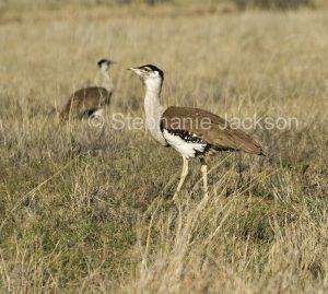Australian Bustard, Ardeotis australis, commonly known as a Plains Turkey, in outback Queensland Australia.