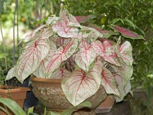 Caladium with red green and white decorative leaves growing in a decorative terracotta pot.