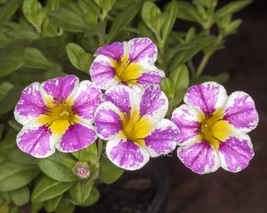Pink and white flowers of Calibrachoa 'Candy Crush', commonly known as perennial petunia, on background of green leaves