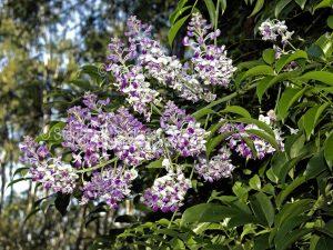 Clusters of mauve and white perfumed flowers, Australian native climbing plant, Callerya megasperma syn. Millettia, Native Wisteria, Queensland Australia