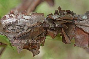 Ragged bark of stem of Australian native climbing plant, Callerya megasperma syn. Millettia, Native Wisteria, a vine, in Queensland Australia