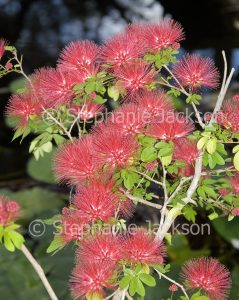 Cluster of fluffy pink flowers and light green leaves of Calliandra 'Blushing Pixie', commonly known as Fairy Duster, on dark background