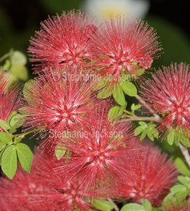 Cluster of fluffy pink flowers of Calliandra 'Blushing Pixie', commonly known as Fairy Duster.