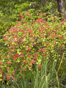 Calliandra tweedii 'Blushing Pixie', a shrub, Fairy Duster or Pom Pom Bush.