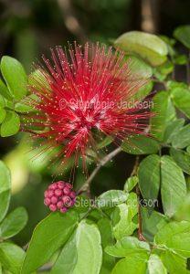 Red flower of Calliandra tweedii, a shrub, Fairy Duster or Pom Pom Bush.