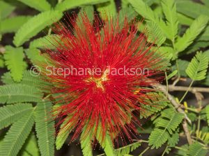 Red flower of Calliandra tweedii prostrata, shrub, Fairy Duster, Pom Pom Bush