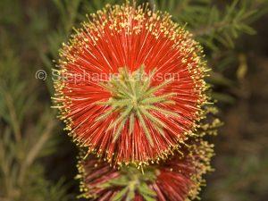 Red flower of Callistemon Rocky Rambler / Bottlebrush flower in Queensland Australia