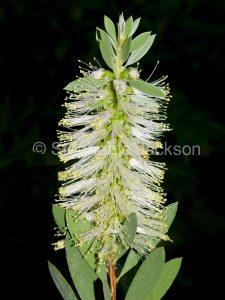 White flower of Callistemon citrinus / bottlebrush flower in Queensland Australia