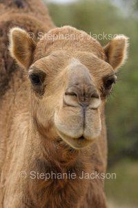 Face of a wild camel near Wanaaring in outback NSW Australia.