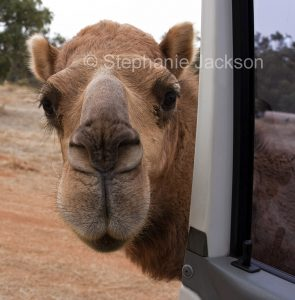 A pet camel, once a wild camel in outback NSW, peering through the open door of a car near the Queensland outback pub at Toompine.