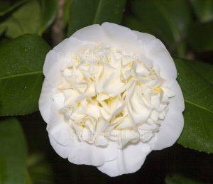 Double white flower of Camellia sasanqua cultivar.