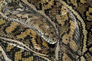 Non-venomous snake, a carpet python. Morelia spilota, coiled up in a garden in Queensland Australia
