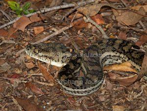 Non-venomous snake, a carpet python. Morelia spilota, in a garden in Queensland Australia