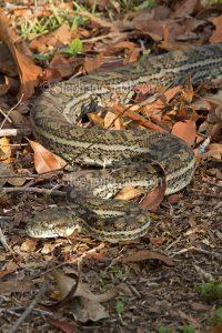 Non-venomous nake, carpet python. Morelia spilota, in a garden in Queensland Australia