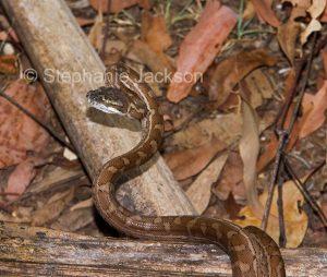 Young snake, carpet python. Morelia spilota, in a garden in Queensland Australia