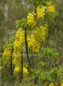 Long racemes of yellow flowers, green leaves and seed pods of Cassia fistula, Golden Shower Tree, Indian Laburnum.