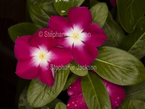 Red and white flowers of Catharanthus roseus, commonly known as Vinca.