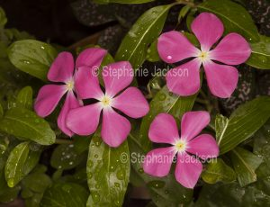 Pink flowers of Catharanthus roseus, commonly known as Vinca.