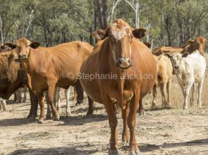 Herd of cattle with a pregnant cow in the foreground during a drought in Queensland Australia.