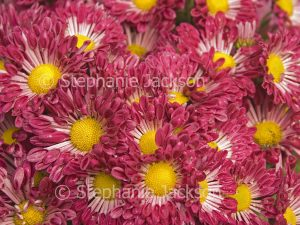 ed chrysanthemum flowers with yellow centres.