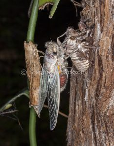 Double Drummer cicada, Thopha saccata, after metamorphosis into winged insect, on the trunk of a eucalyptus tree in Queensland Australia