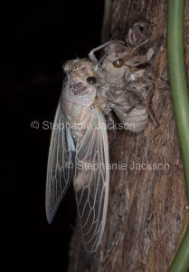 Double Drummer cicada, Thopha saccata, during metamorphosis into a winged insect, on the trunk of a eucalyptus tree in Queensland Australia