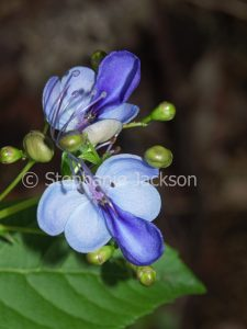 Blue flowers of Clerodendron ugandense, Blue Butterfly Bush on dark background