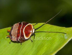 Beautiful cockroach, Ellipsidion australe, last instar, on a leaf in Queensland Australia
