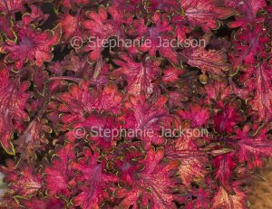 Vivid red foliage of Solenostemon scutellarioides, 'Coral Ruffles' collection 'Bordeaux', a perennial plant that's commonly known as 'Coleus'.