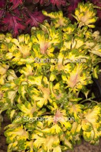 Green and yellow variegated foliage of Solenostemon scutellarioides, 'Coral Ruffles' collection', a perennial plant that's commonly known as 'Coleus'.