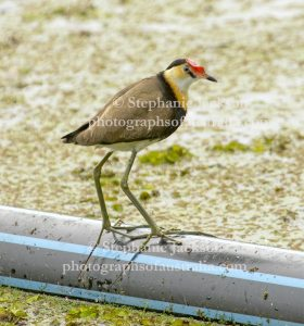 Comb-crested Jacana, Irediparra gallinacea, is often known as a Lotusbird or Lily Walker