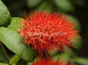 Vivid flame red flower of Combretum constrictum, Thailand Powderpuff, a deciduous shrub, on background of green foliage.