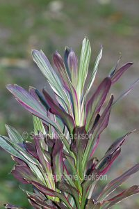 Red and green variegated foliage of Cordyline fruticosa 'Pink Joy'.