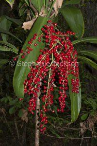 Red berries / fruit of Australian native plant, Cordyline australis, in Queensland Australia.