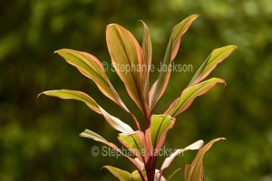 Pink and green foliage of Cordyline fruticosa 'Early Morning Diamond' on dark green background