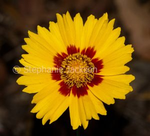 Red and yellow flower of Coreopsis lanceolata 'Sterntaler', on dark background