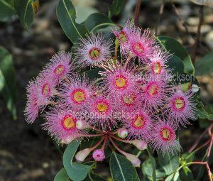 Cluster of bright pink flowers of flowering gum tree Corymbia species syn Eucalyptus